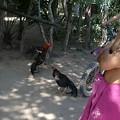 写真: 道ばたで闘鶏をやってました!