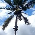 椰子の実採りに登ってます、3階の屋根より高いです!
