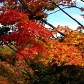 紅葉 松原湖高原