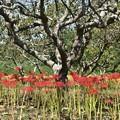 柿の木畑の彼岸花 ヒガンバナ(彼岸花) ヒガンバナ科 別名:マンジュシャゲ(曼珠沙華)