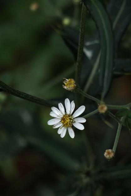 ヤマシロギク(山白菊) キク科 別名:イナカギク(田舎菊)