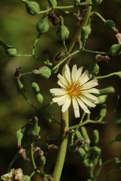 アキノノゲシ(秋の野芥子、秋の野罌粟)  キク科