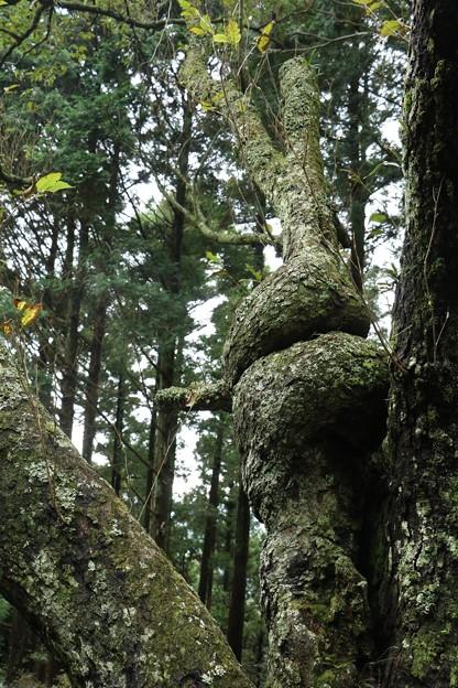 自然の造形木ヤシャブシノキ