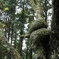 Photos: 自然の造形木ヤシャブシノキ