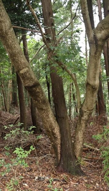 自然の造形木
