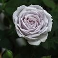 写真: 薔薇:シルバーシャドウ