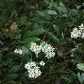 写真: ヤマシロギク (山白菊) キク科