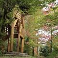 写真: 森林公園     モミジバフウ(紅葉葉楓) フウ科