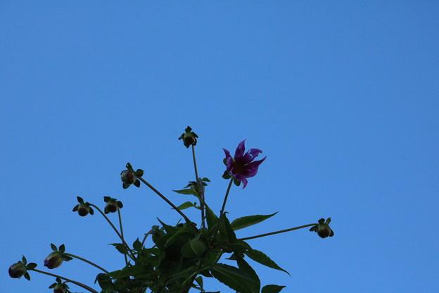 庭の皇帝ダリアが咲いて来ました。(こだち、木立ダリア・インペリアルダリア)