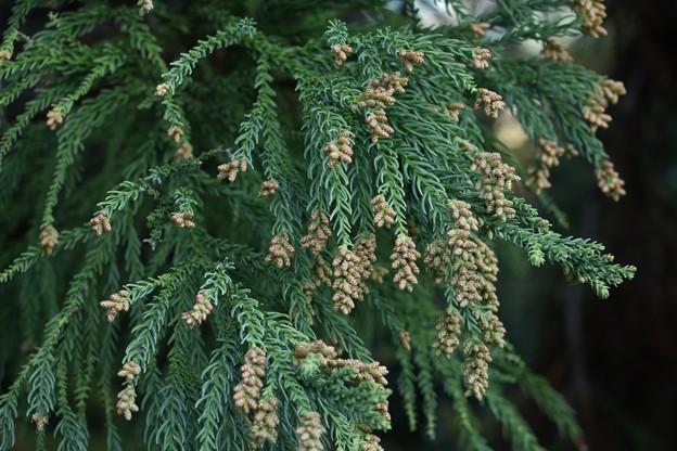 写真: 杉の花蕾