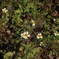 コシロノセンダングサ(小白の栴檀草) キク科