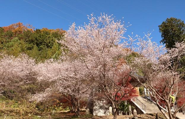光明山光明寺(コウミョウザンコウミョウジ)四季桜