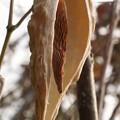 ガカイモ(蘿藦、鏡芋、芄蘭) ガガイモ科