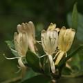 スイカズラ(吸い蔓) スイカズラ科の花別名:ニンドウ(忍冬)キンギンカ(金銀花)