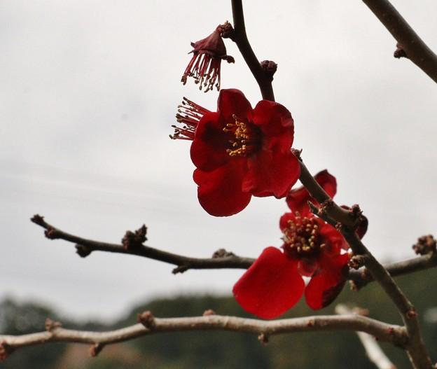 ボケ(木瓜) バラ科