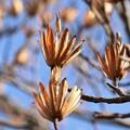 ユリノキ(百合の木) モクレン科、種子別名:レンゲボク(蓮華木)