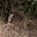 アカガシラサギ 冬羽 (1)