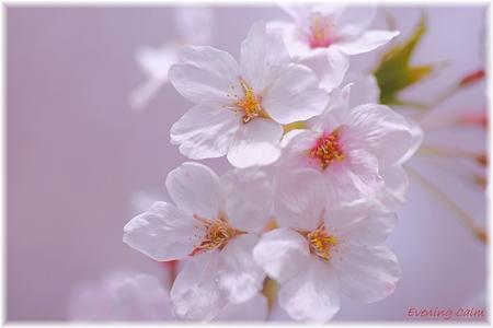 桜_0001