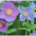 Photos: Blue Poppy_0008