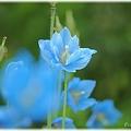 Blue Poppy_0018