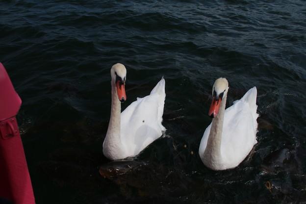 白鳥_山中湖 D4958