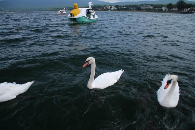 白鳥_山中湖 D4976