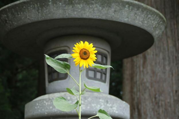 ひまわり_浅間神社 D5027