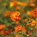 秋桜_公園 D5286