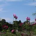 秋桜_公園 D5294