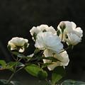 薔薇_植物園 D5343