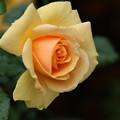 薔薇_公園 D5381