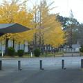 銀杏_公園 F0766