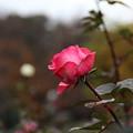 薔薇_公園 D5968