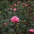 薔薇_公園 D5971