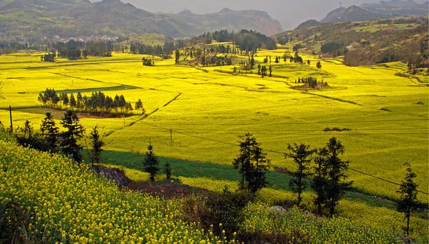 羅平の黄色い春