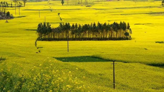 黄色の中の木立