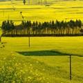 Photos: 黄色の中の木立