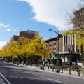 写真: 日本大通りの黄葉