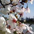 Photos: やっぱり桜はきれい #ha...