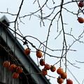 Photos: IMGP3487光市、伊藤公資料館、生家の柿
