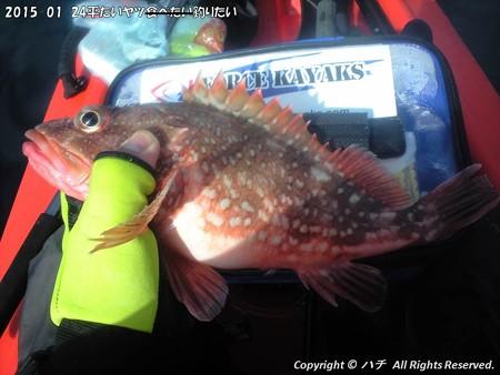 2015-01-24平たいヤツ食べたい釣りたい (12)