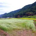 写真: ソバ畑
