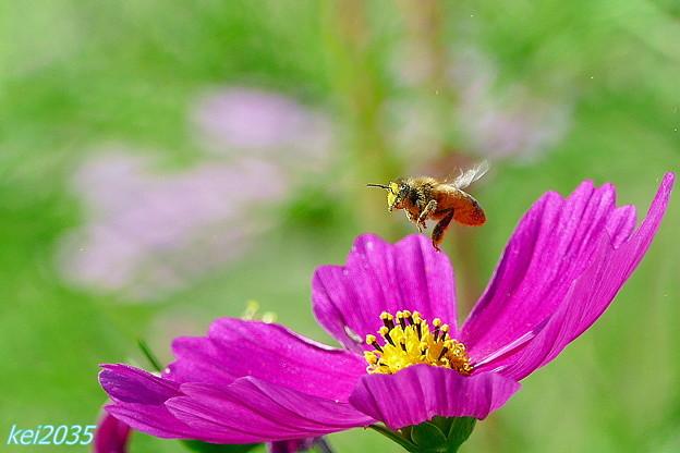 蜜蜂&コスモス