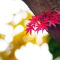 岡山後楽園の紅葉 NO.12
