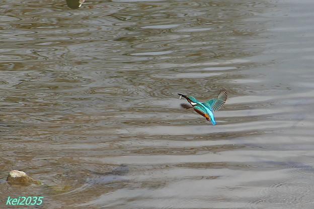 カワセミ魚ゲット NO.2