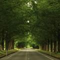 写真: メタセコイア並木