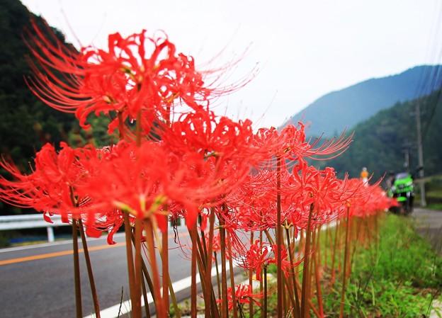 写真: 曼珠沙華の路
