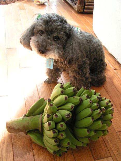 宮崎ミニバナナを収穫したよ!!