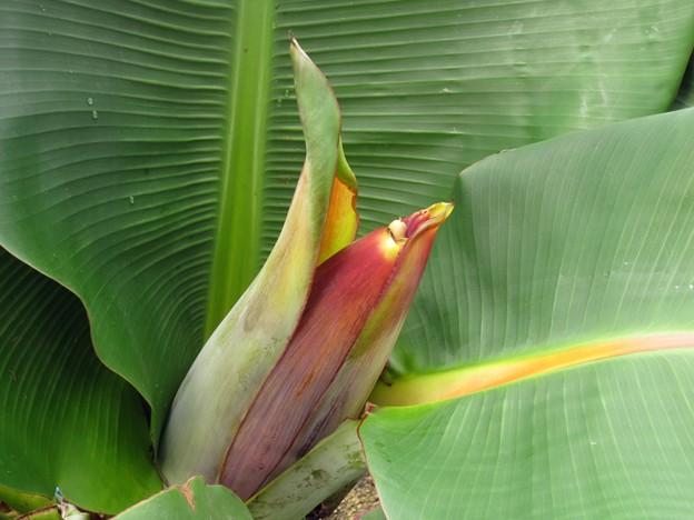 宮崎ミニバナナの花芽