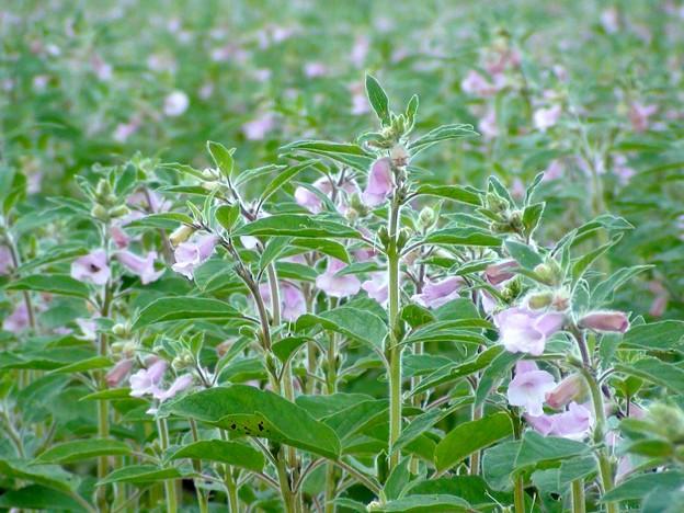 胡麻の花畑